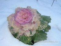 Декоративная капуста – осенне-зимнее украшение клумб