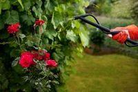 Одна из тысячи. начинающим цветоводам о розах